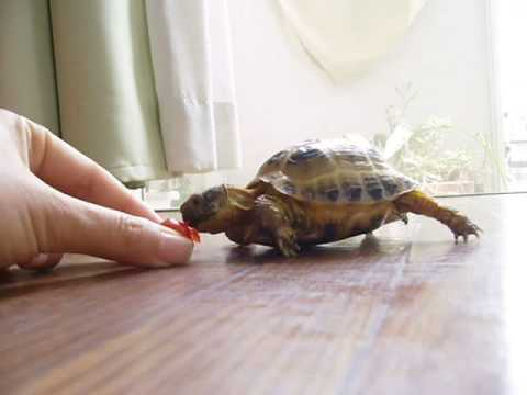 Tortoise chasing a tomato