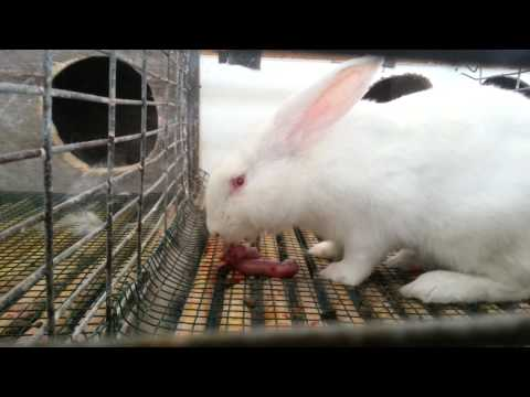 Rabbit eating own babies.