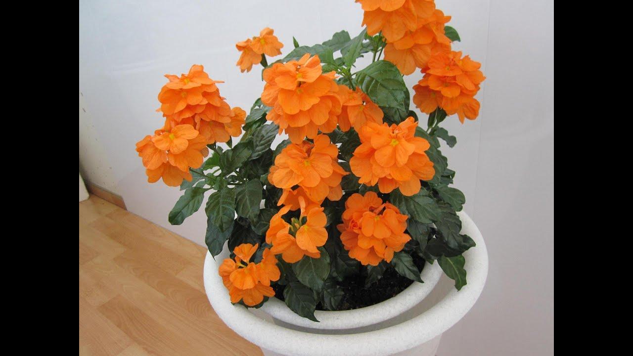 Семена комнатных не цветущих цветов фото и названия