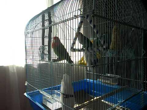 Love Birds Singing video
