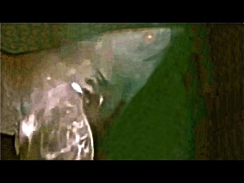 Megalodon Sighting caught on Tape