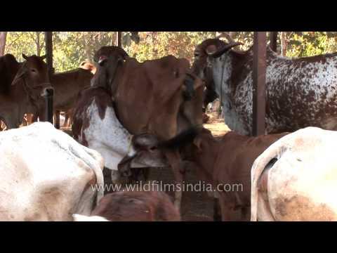Nagpur: Milk Feasting by Cows