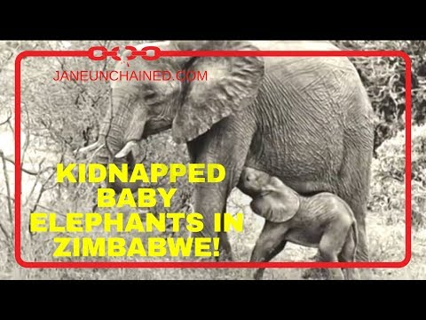 HELP SAVE THE KIDNAPPED BABY ELEPHANTS IN ZIMBABWE!