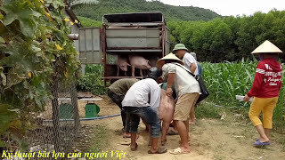 Getting the most heinous pigs of the Vietnamese