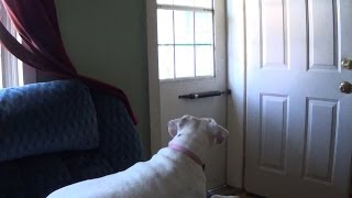 Boxer Dog Misses Her Kids!