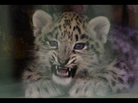 かわいい猛獣 ユキヒョウ~Lovely fierce animal Snow Leopard