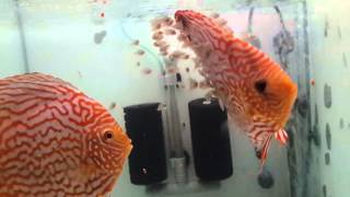 Galaxy Turquoise Discus Pair TURKEY Celal ABAY