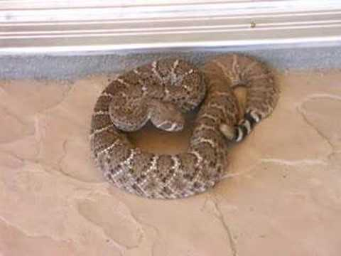 Rattlesnake on the Patio in Cave Creek