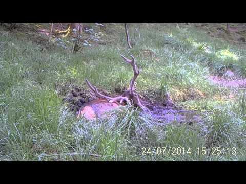 Red deer in Holmedal. Western Norway.