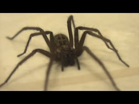 giant house spider big spider in my house youtube
