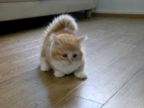 子猫マンチカンがじゃれる