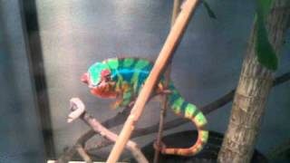 Panther Chameleon Loves silkworms a little too much