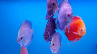 Karma discus tank guncel (Blue diamond, Red Melon, Redmarlboro)
