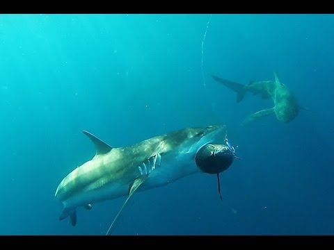 See southern blue fin tuna attacked and eaten by sharks kangaroo Island