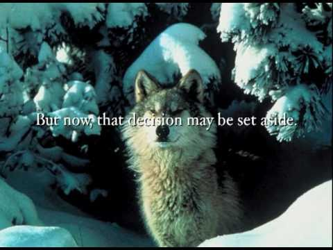 Now more than ever. wolves need your help