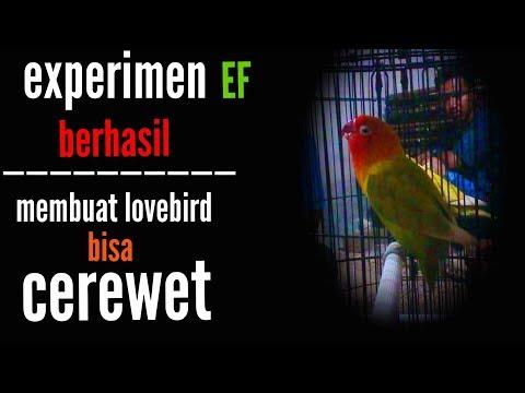 cara membuat burung lovebird cerewet dan aktif ngekek   manfaat wortel untuk burung lovebird