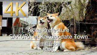 4K Akita Prefecture SAKURA at Kakunodate Town 秋田県仙北市角館町