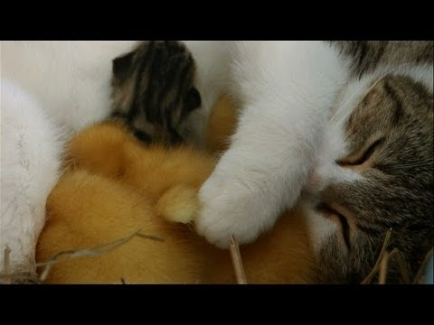 Cat cuddles kittens and adopted ducklings - Animal Odd Couples: Episode 1 Preview - BBC One