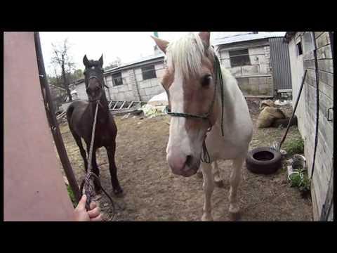 Содержание лошади летом. Выпас на привязи.