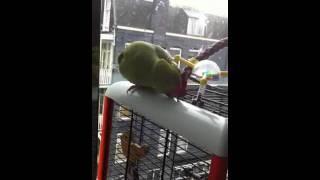 Mano Parrot happy talking