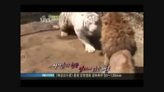 Male Siberian Tiger Attacks Lioness Until Lion Saves Her