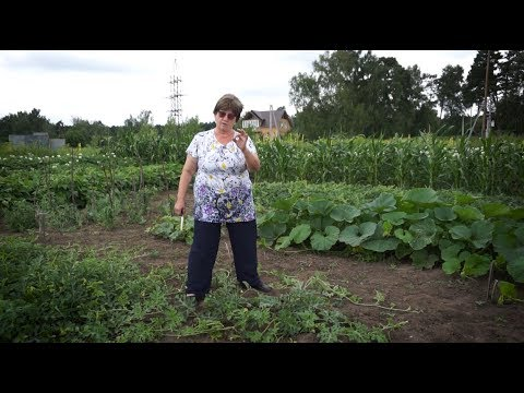 Удачная среда - тонкости выращивания арбузов в сибирских условиях (Бийское телевидение)