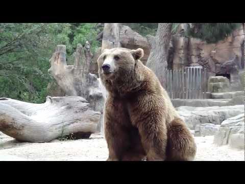 Oso pardo - Zoo de Madrid