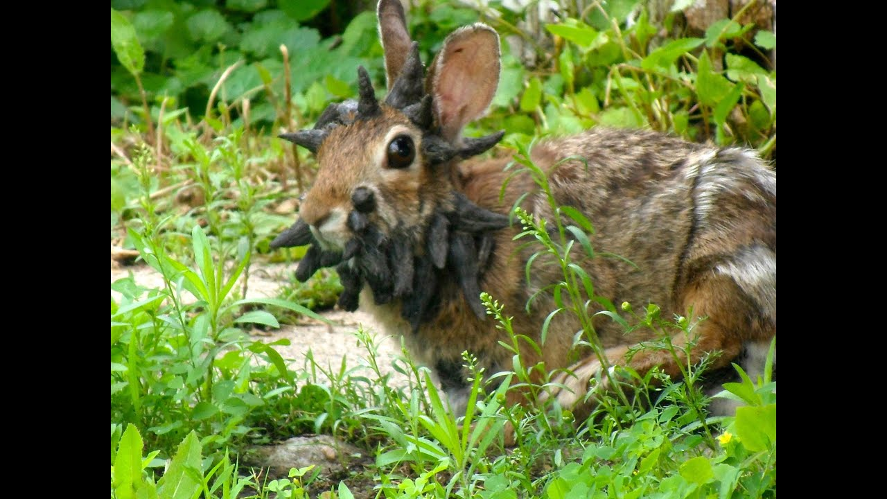 OFFICIAL - The World's Scariest Rabbit: Frankenstein - YouTube Horns Growing Out Of Head