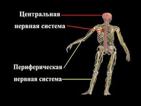 Здоровье периферической нервной системы. Пути решения.Ольга Зелепухина.