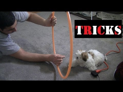 Bella Doing her first Tricks - sit, hi5, hi10, roll, lay, jump through hoola hoop