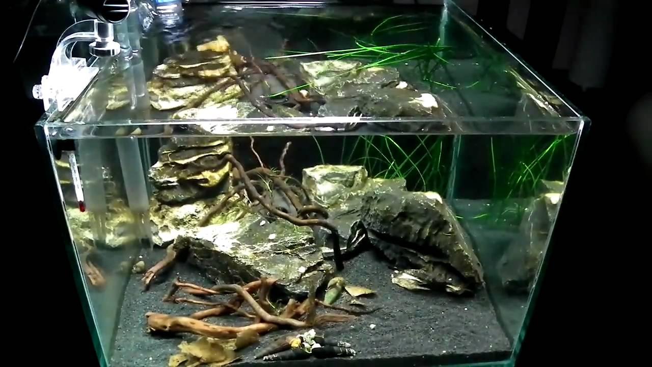 SULAWESI - Cardinal shrimp / Tylomelania - YouTube