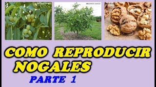 Como Reproducir Nogales Por Su Fruto 1ª PARTE // Walnut tree by its fruit PART 1