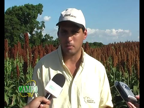 Presentan nuevas opciones para cultivo de sorgo