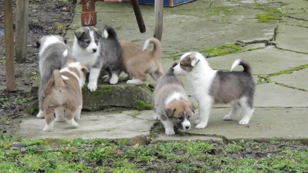 Хаски фотки щенки