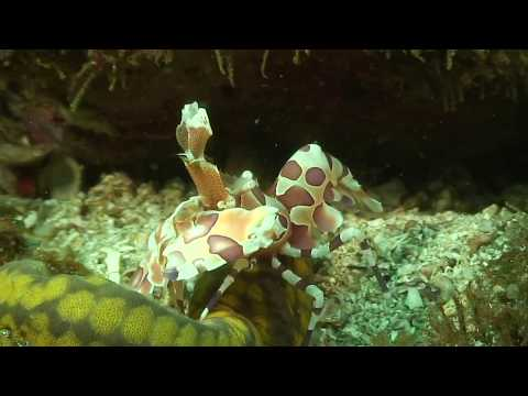 harlequin-shrimp-tiburones-playas-del-coco-watch-in-hd.html