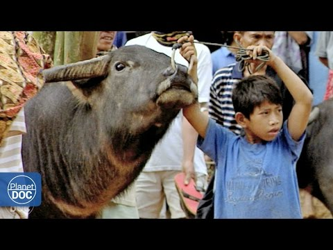 Indonesia. Toraja Funeral (Buffalo Fight)   Tribes & Ethnic Groups