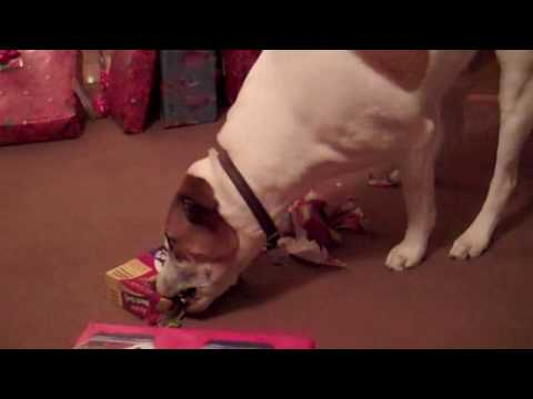 0 Cute dog opening gift from Santa!