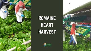 Romaine Heart Harvest