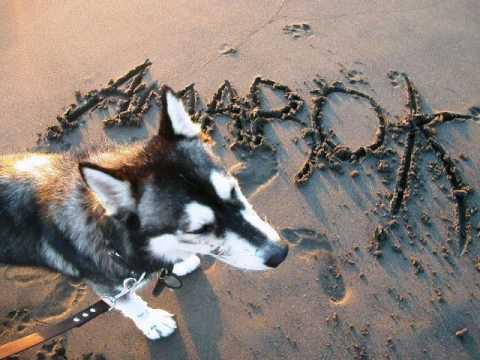 RAZAS DE PERROS: Husky Siberiano