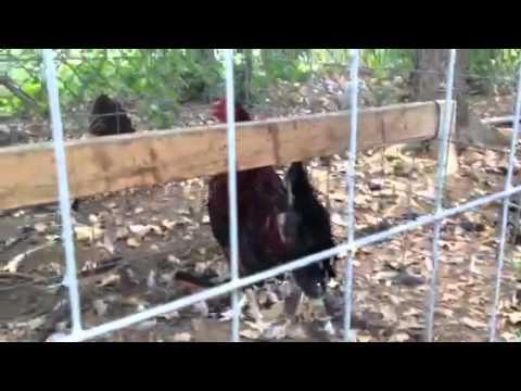 Gallos de FILO en pluma  USA
