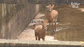 Water Deer Need Help Escaping A Waterway | Animal in Crisis EP16