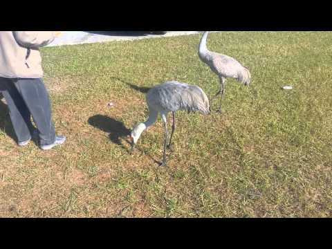 Florida Sandhill Crane Couple