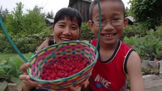 Hái mâm xôi đỏ,dâu tây, dâu dại, lượm trứng gà vườn cây nhà chị Jan