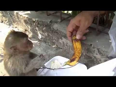 Monyet ketangkap Agustus 26 2014 Bunga Rampai TiVi 1999
