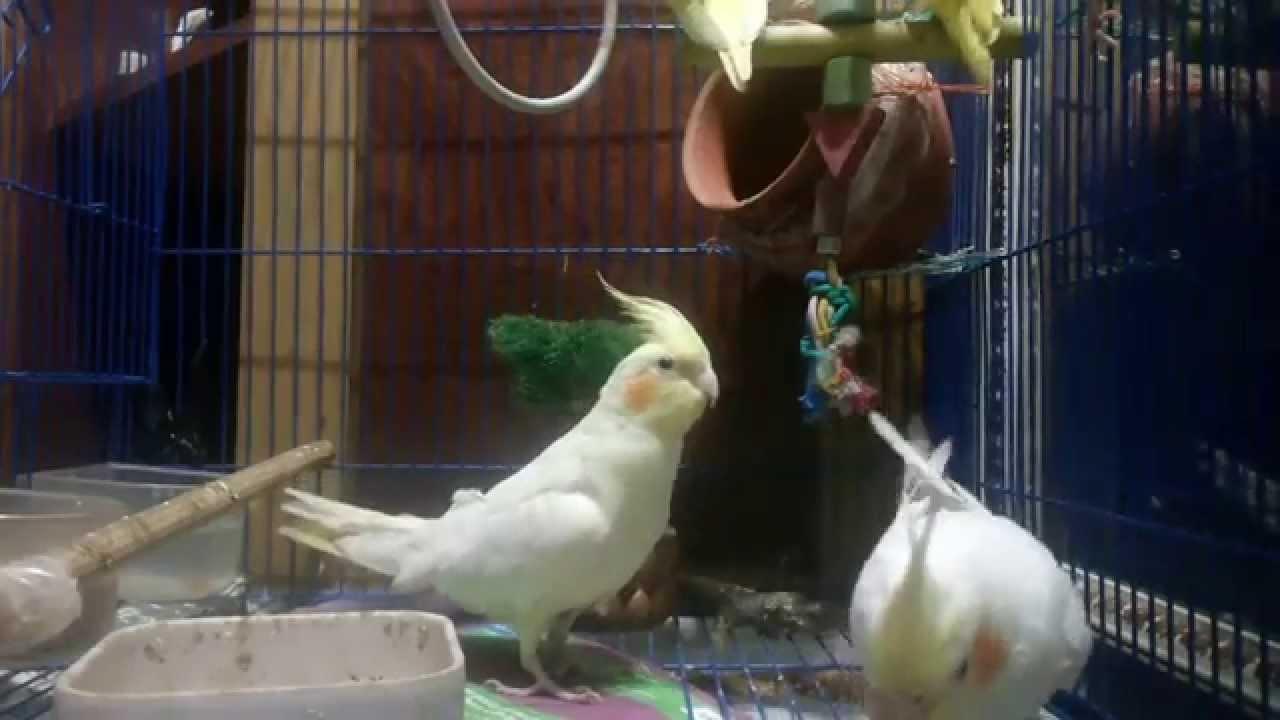 how to teach your cockatiel bird to talk