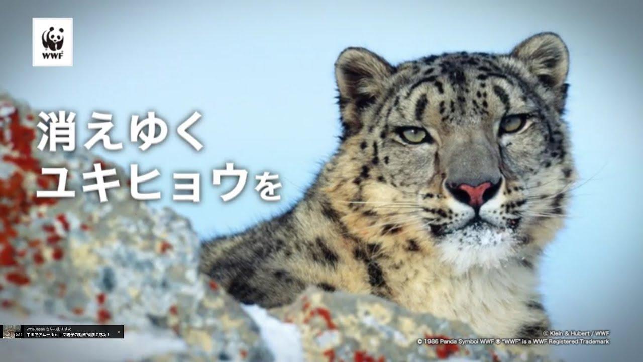 ユキヒョウの画像 p1_24