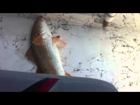 Sabine Lake Redfish