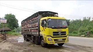 (VTC14)_Người chăn nuôi điêu đứng vì Trung Quốc ngừng mua lợn