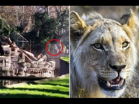 Brutal lion attacking man at Barcelona Zoo