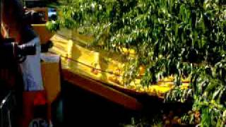 Peach mechanical harvesting in Spain - Raccolta meccanica percoche in Spagna 3